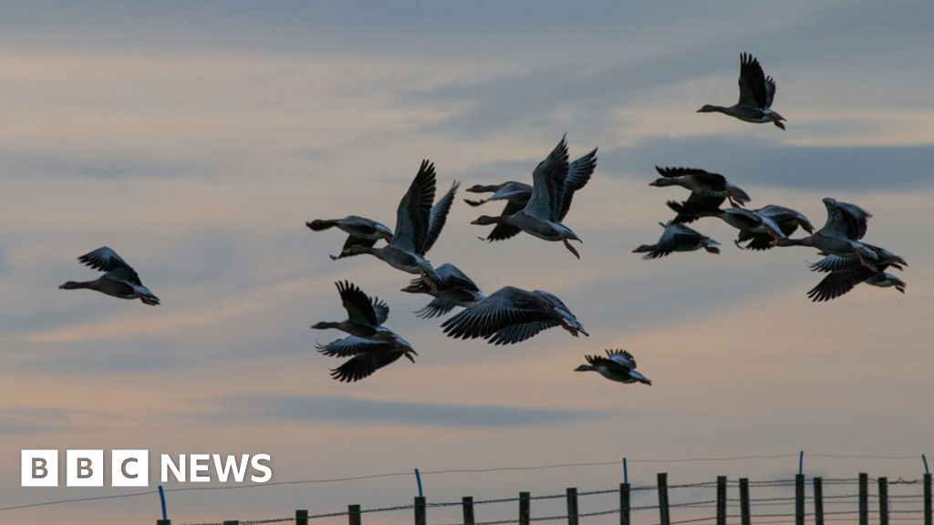 Fighting a goose invasion with guns, knives and forks