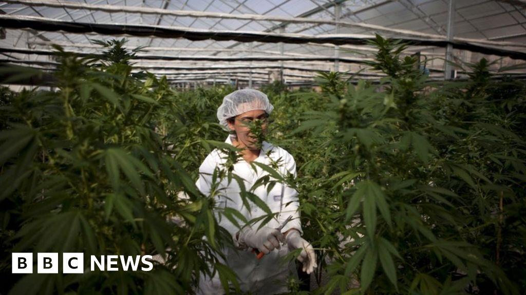 Марихуана bbc смотреть онлайн как выбрать конопляное семя