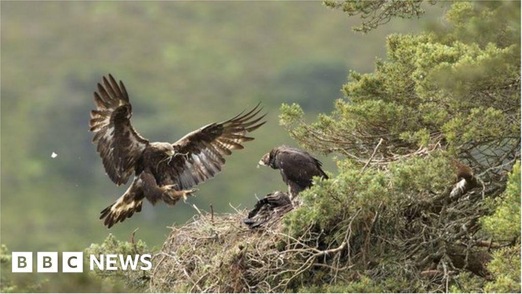 Golden eagles breeding success at Scottish Highlands estate