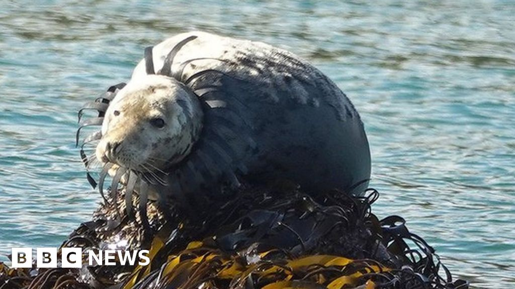 Seal pictured off south Devon with crab pot entangled around neck