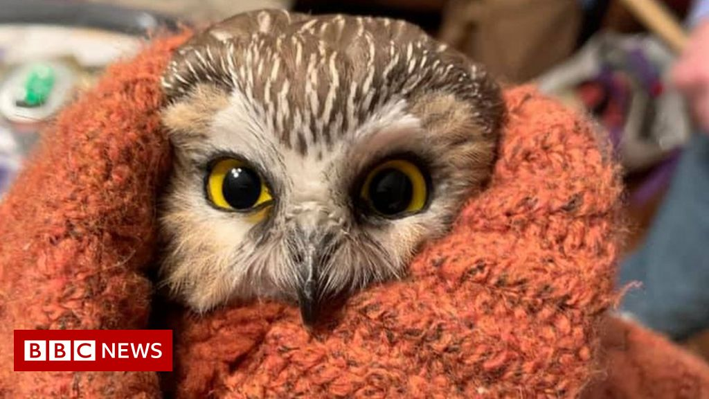Tiny owl rescued from New York Rockefeller Center Christmas tree