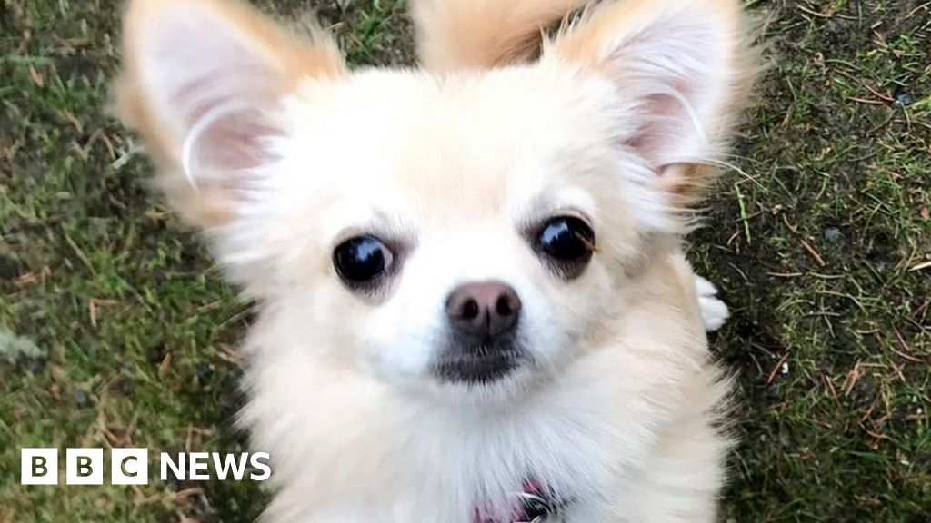 Pet Chihuahua grabbed by bird of prey in Aberdeen