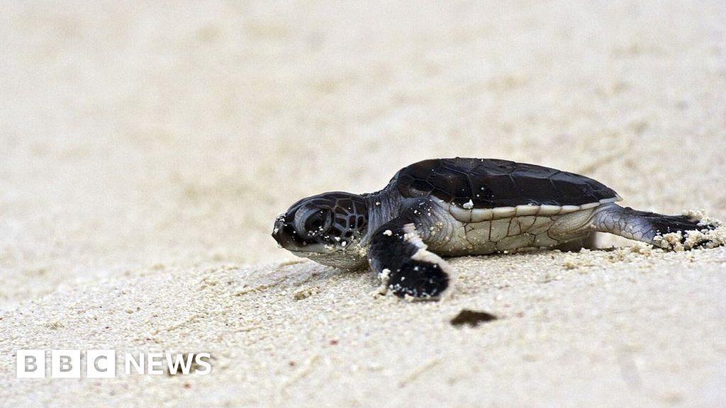 Green sea turtles: Vulnerable animal's hatching season draws to close