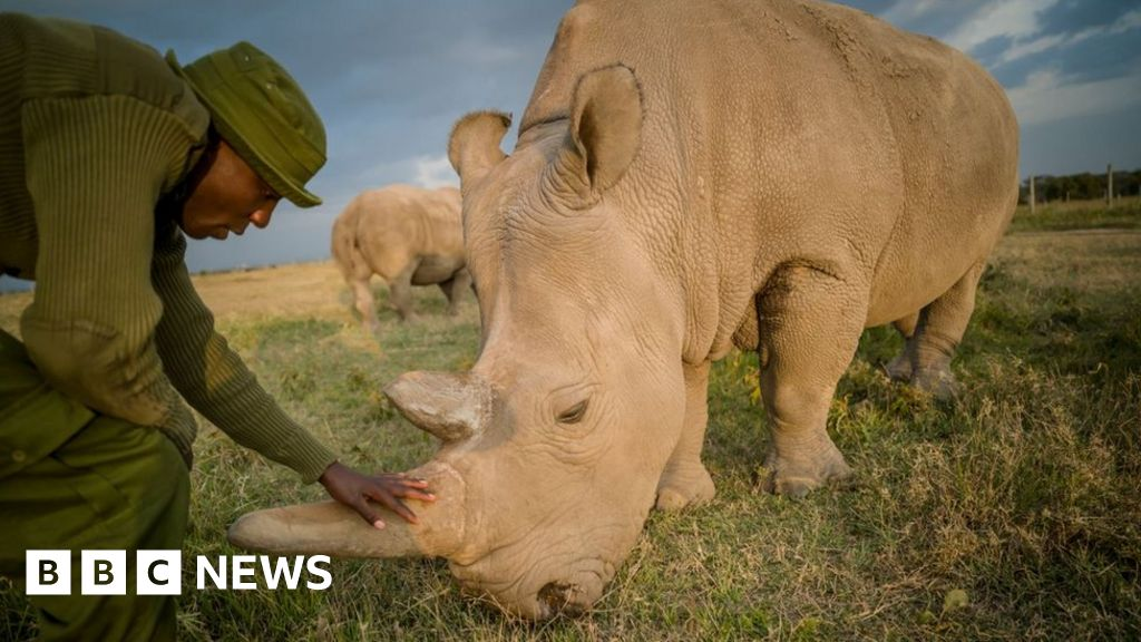 Eggs taken from rare rhinos in bid to save species