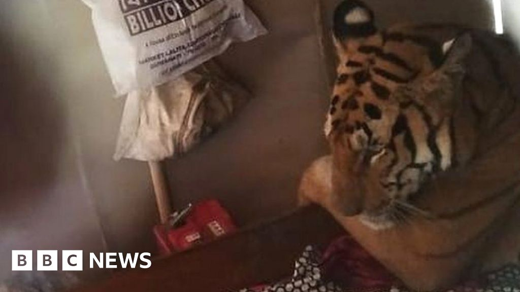 Floods force tired tiger into resident's bed