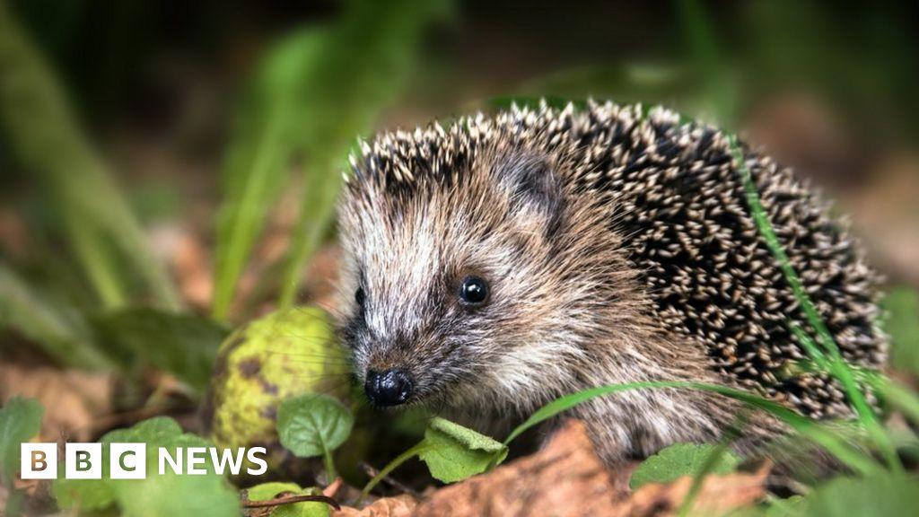 Hedgehog road deaths in UK 'as high as 335,000'