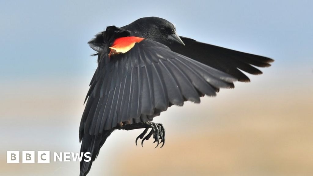 Why US bird attacks on humans are on rise