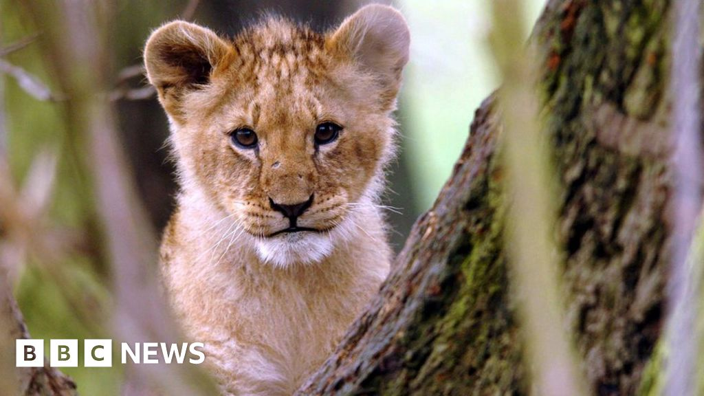 Lion cub found in French apartment thumbnail