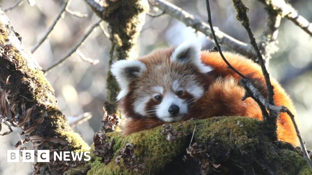 Red pandas followed by satellite in the conservation of  milestone