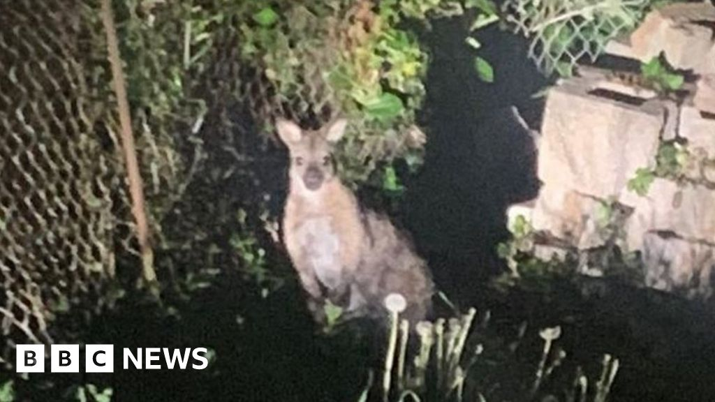 Wallaby Goes On St Ives Walkabout After Zoo Escape Bbc News