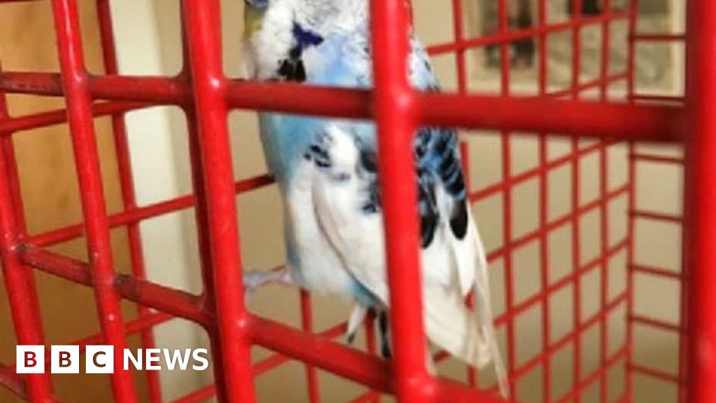 Missing budgie reunited with owner after being found by pet