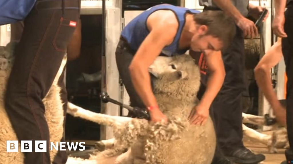 Young Farmer Wins Nz Sheep Shearing Title
