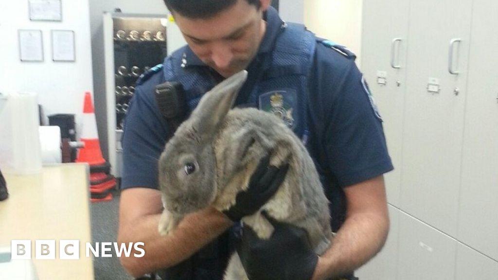 Australian insists illegal pet rabbit is a guinea pig - BBC News