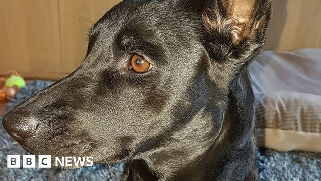 From The Amazon To Antrim The Dog That Travelled 5 000 Miles Bbc News Последние твиты от mr nightmare (@mista_nightmare). from the amazon to antrim the dog