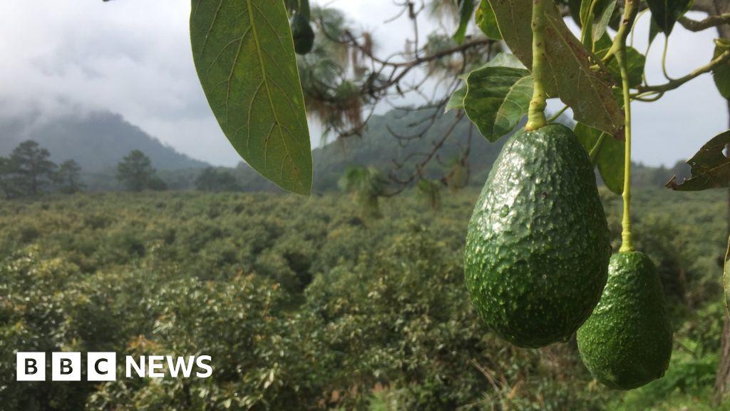 The avocado police protecting Mexico's green gold
