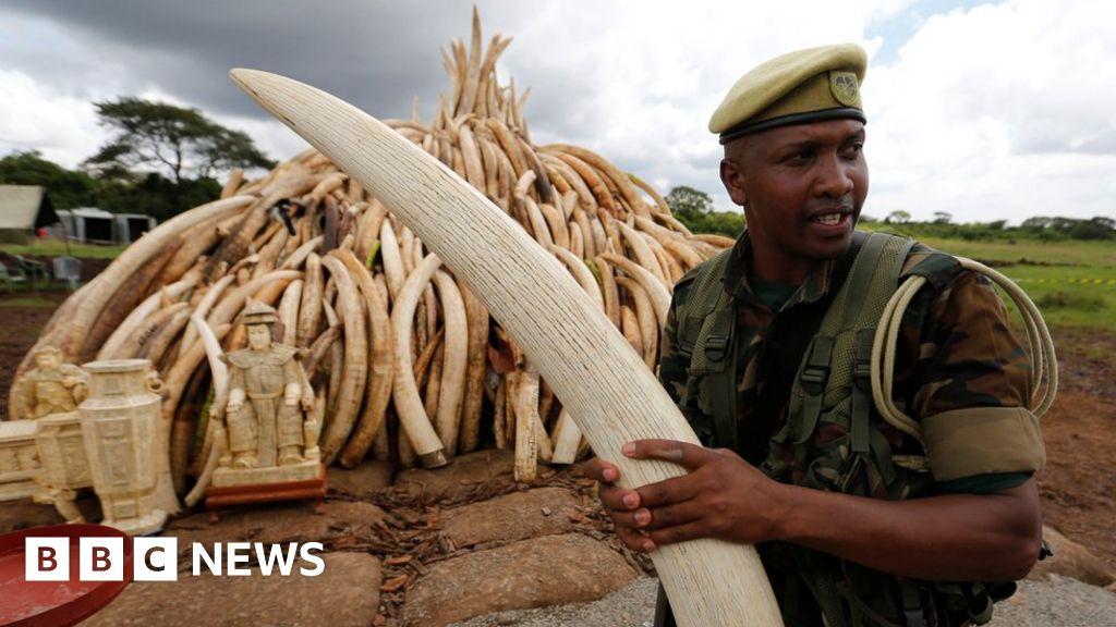 dc8bd8e0c94176 Kenya s ivory inferno  Does burning elephant tusks destroy them  - BBC News