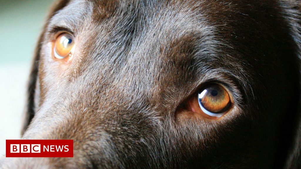 Dogs' eyes evolve to appeal to humans thumbnail
