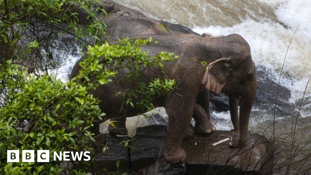 Thai elephant deaths: risk elephants their lives to save each other?