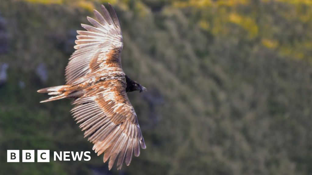 'Incredible' large rare vulture spotted in Peaks