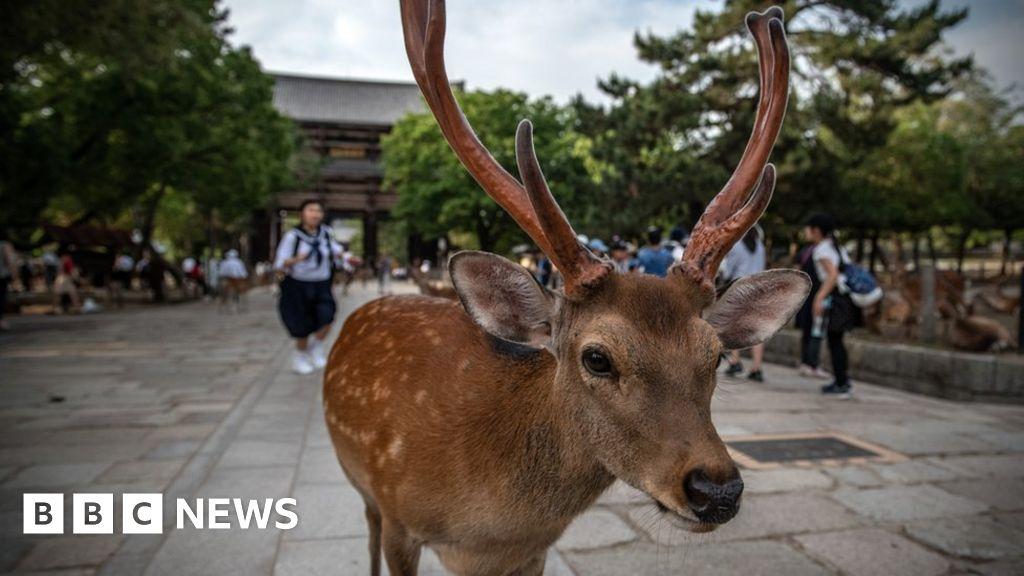 Dead Japan deer 'had kilos of plastic in stomach'
