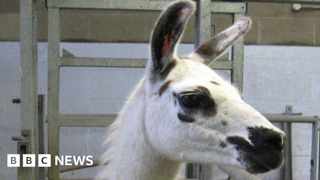 Coronavirus: Llamas present key to immune remedy thumbnail