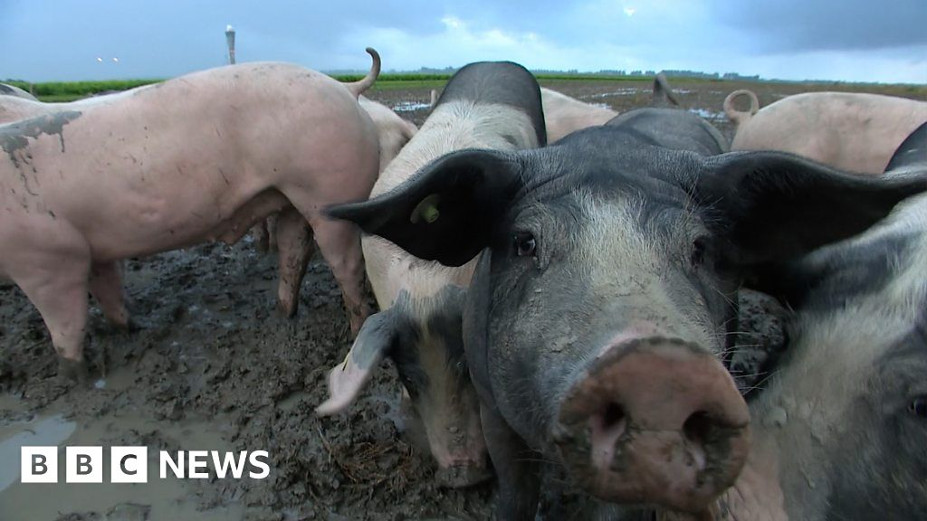 Pigs at Amsterdam s Schiphol Airport help to keep skies safe