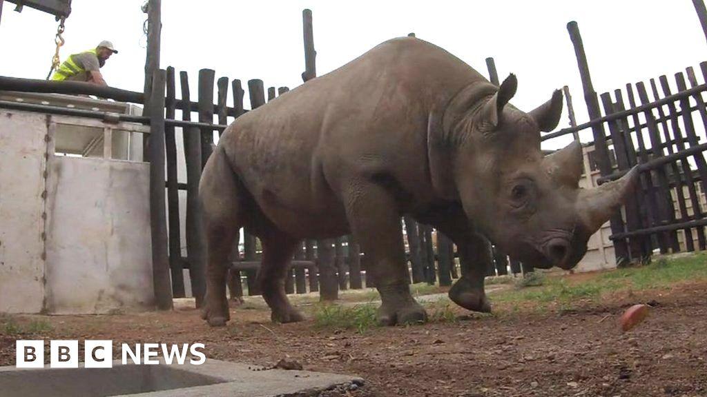 Rhinos' epic journey to freedom in Rwanda