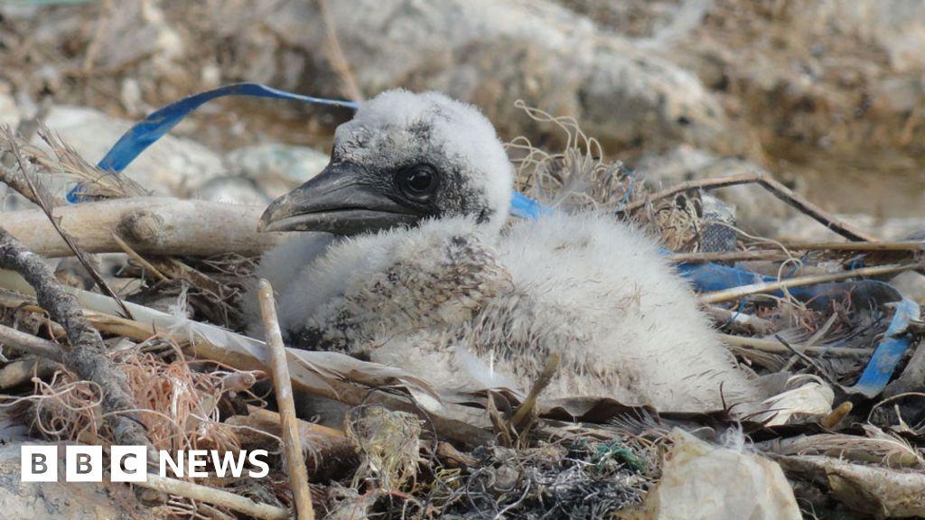seabirds ingesting plastic pollution warn scientists