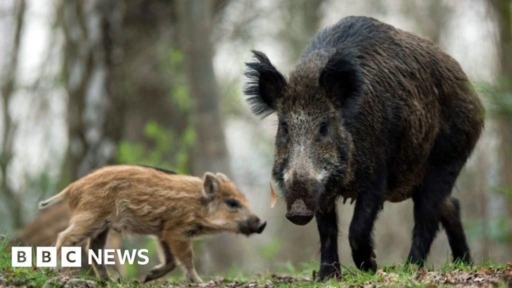 Cheeky boar leaves nudist grunting in laptop chase - bbc