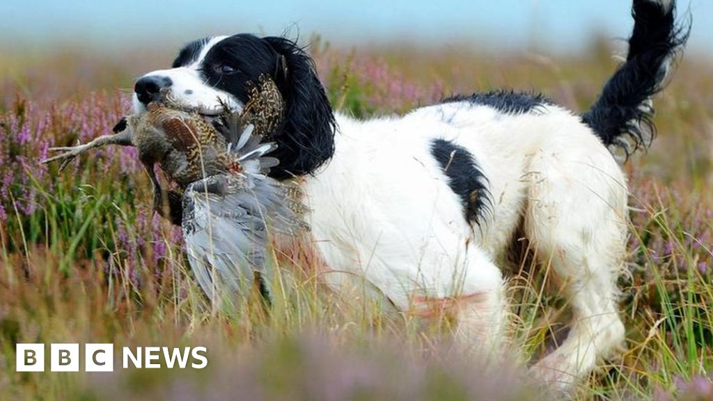 Grouse shooting: Labour calls for review amid habitat concerns