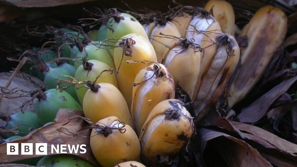 Wild banana on the brink of extinction