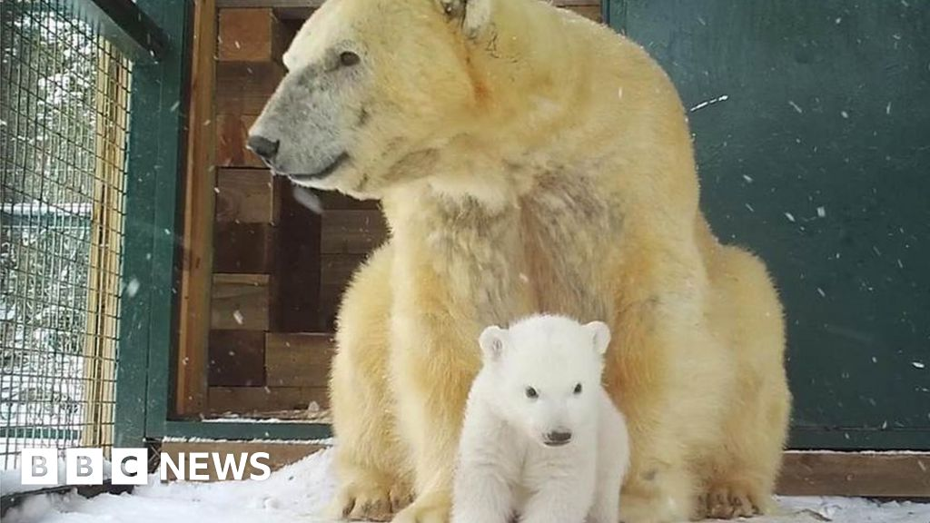 First UK polar bear cub in 25 years emerges from den