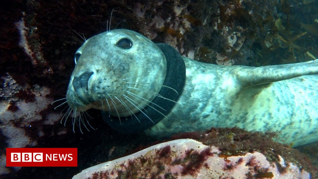 Seal found with rubber ring round neck