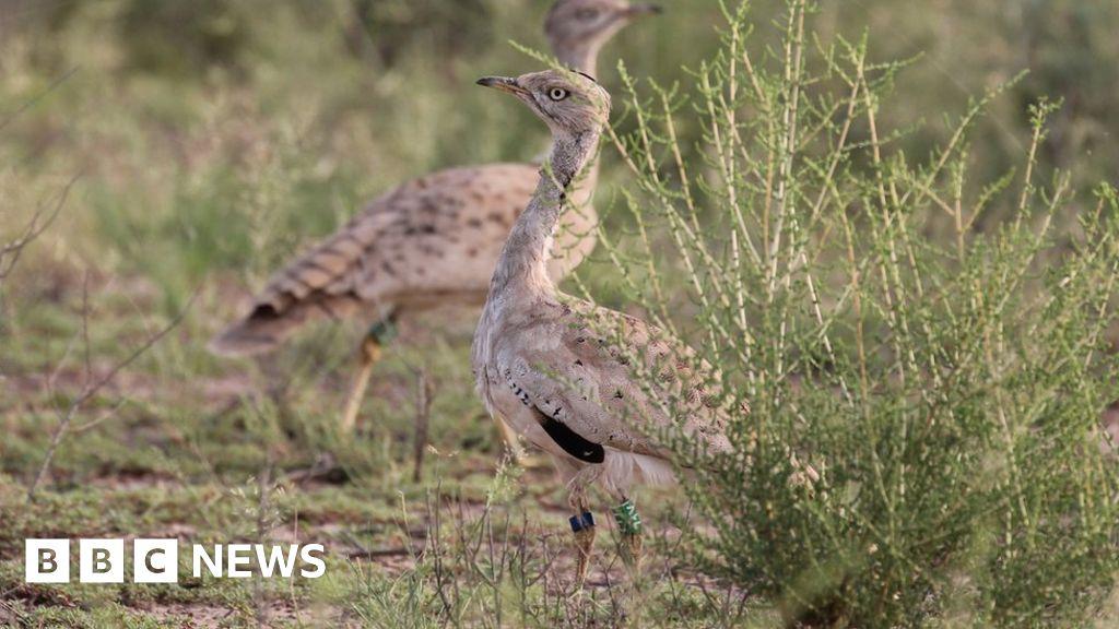 Pakistan's secretive Houbara bustard hunting industry - BBC News