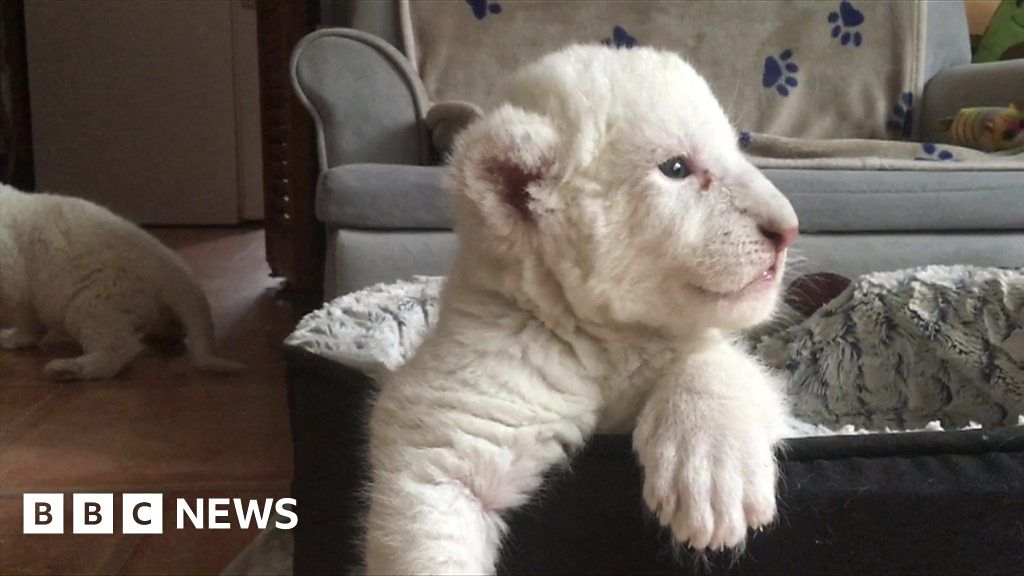 Rare white lion cubs unveiled by French charity