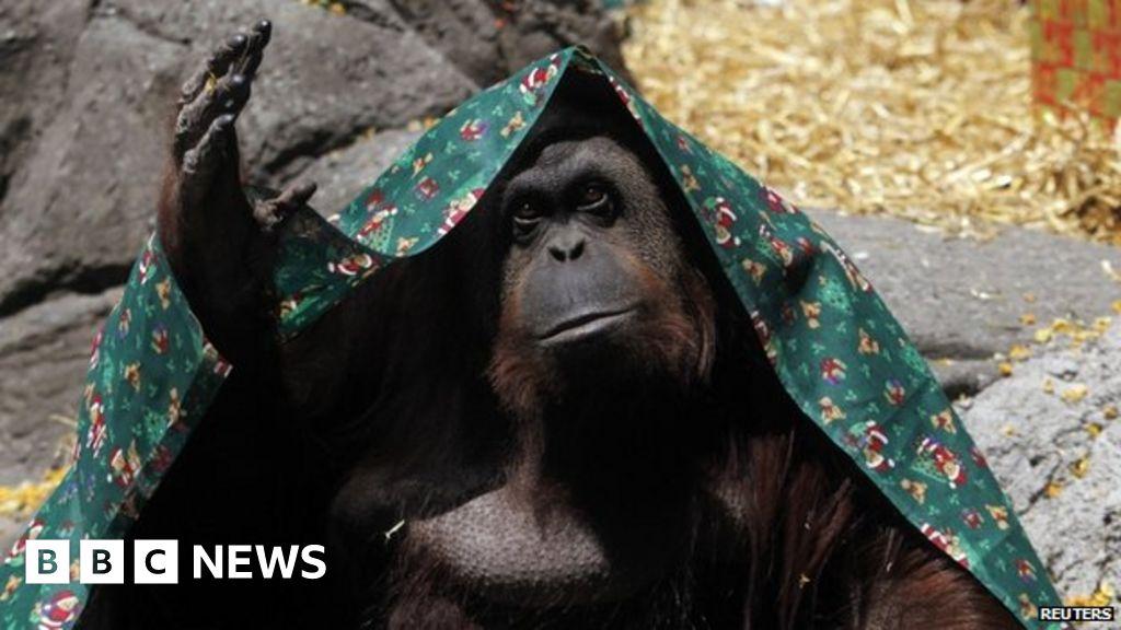 Orangutan with human rights to begin new life in Florida