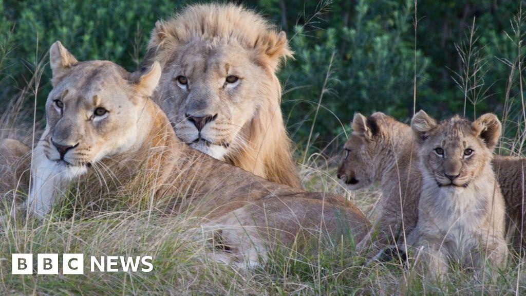 S African 'rhino poachers' eaten by lions
