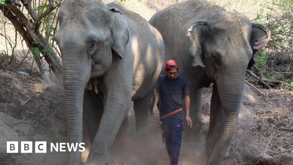 Thai elephants face starvation as tourism plummets