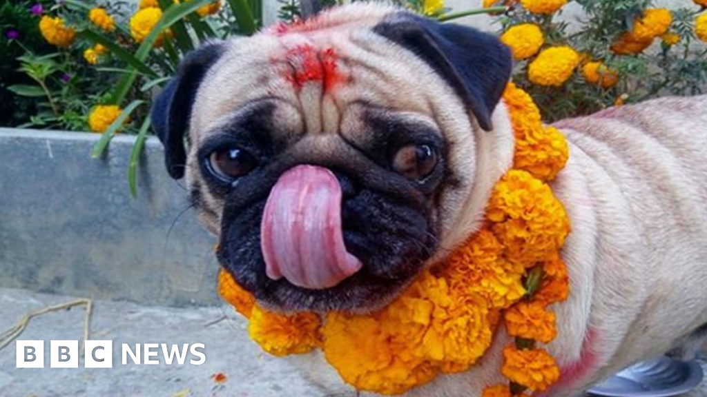 Nepal festival celebrates 'day of the dogs'