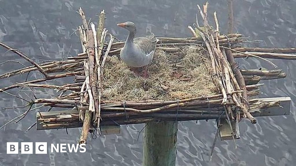 Ospreys' Llyn Brenig rebuilt-nest taken over by goose
