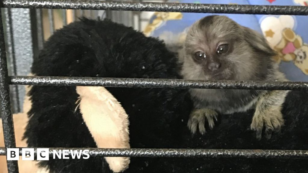 Baby monkey TikTok rescued from 'miserable life' in Grays