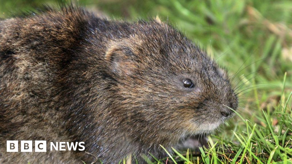 5950d79ed15 Water vole habitat survey 'encouraging' - BBC News