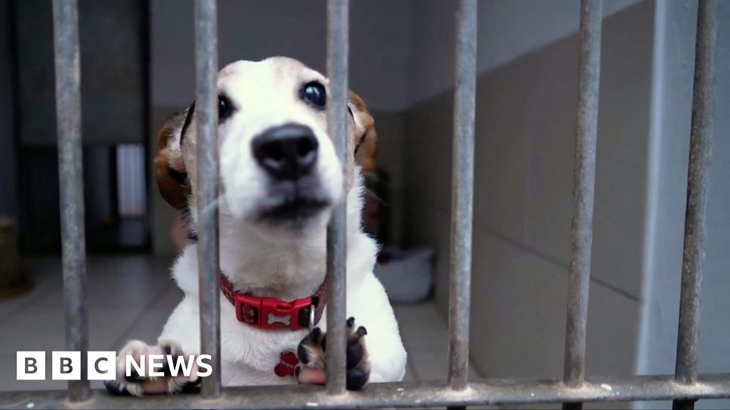 Fake strays surge sees more dogs put down