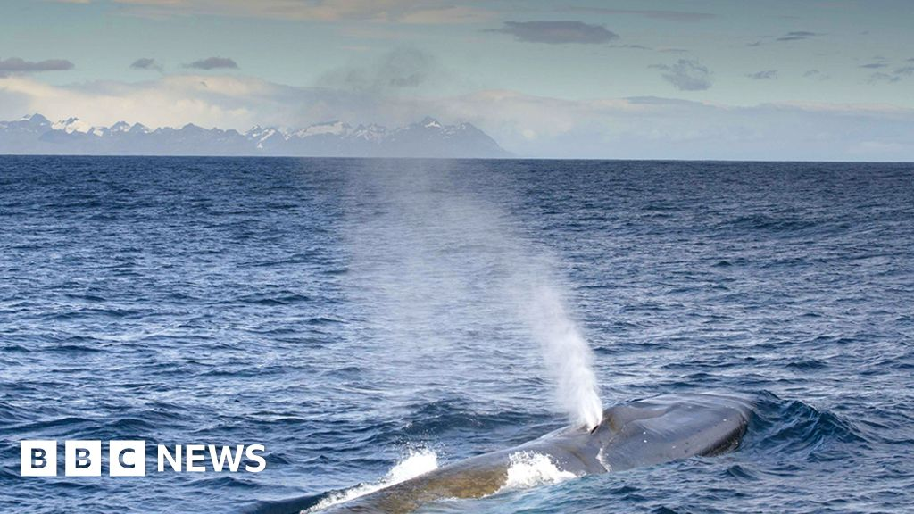 Amazing  blue whale numbers on South Georgia