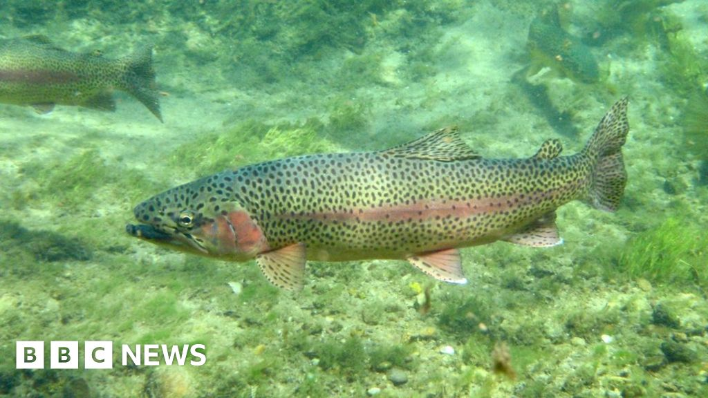 how to fix rainbow trout