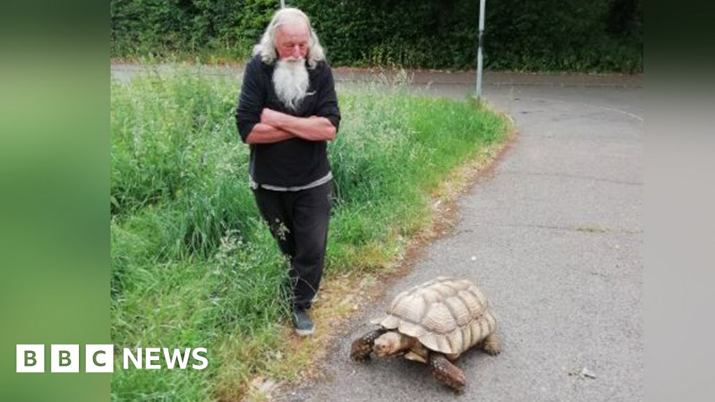 Harlow giant tortoise walks cause astonishment, says the owner