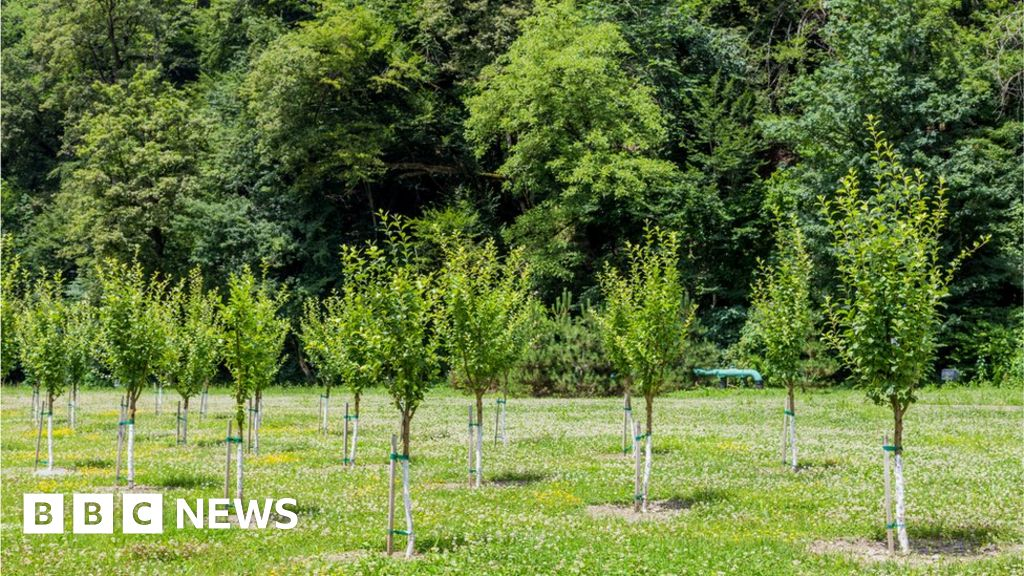 14af7c0b Reality Check: Are millions of trees being planted? - BBC News