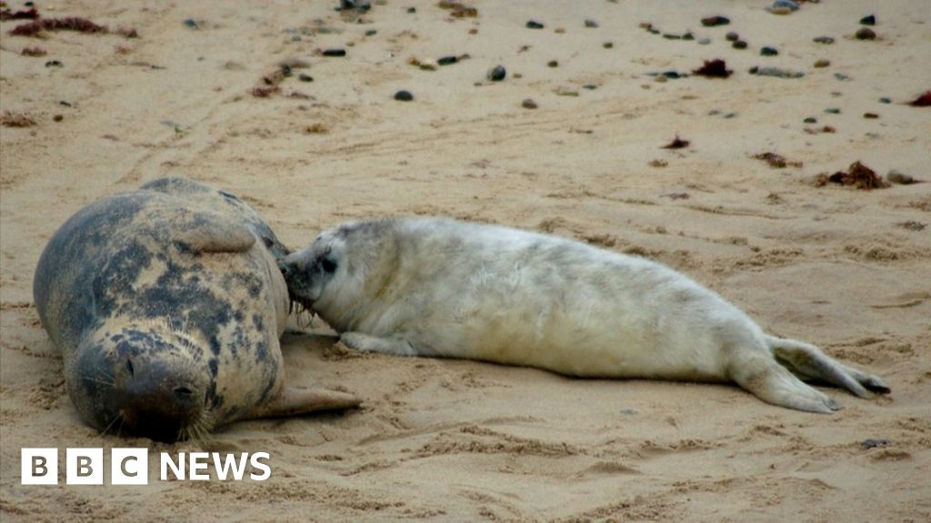 Horsey beach seal births top 1,000 for first time - BBC News