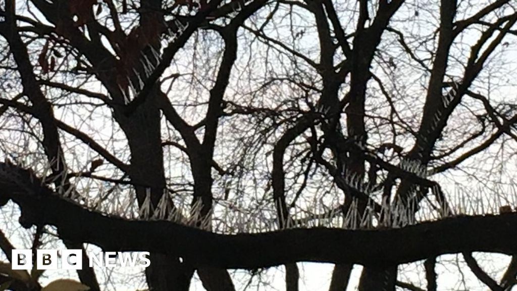 Pigeon spikes on Bristol trees branded 'idiotic' - BBC News