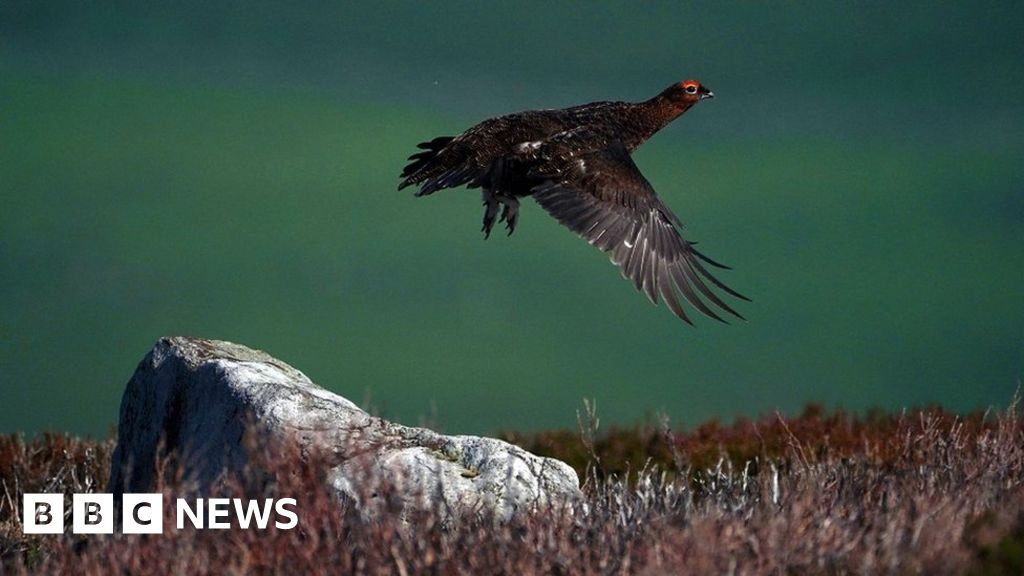 Animal campaigners criticise grouse shoot Covid exemption thumbnail